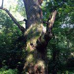 die Dicke Marie-Berlins ältester Baum